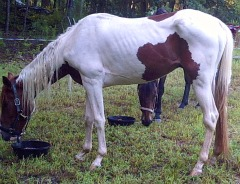 Rescued Paint Horse