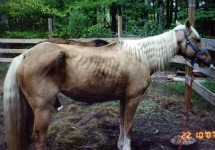 Rescued Palomino Horse
