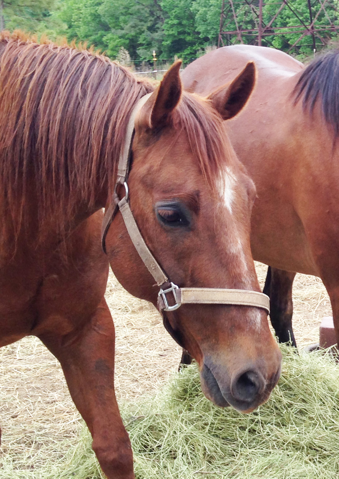 Quarter Horse Gelding for Sale in Raleigh, NC