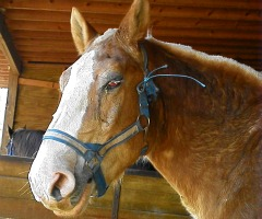 Belgian Rescue Horse with Eye Injury