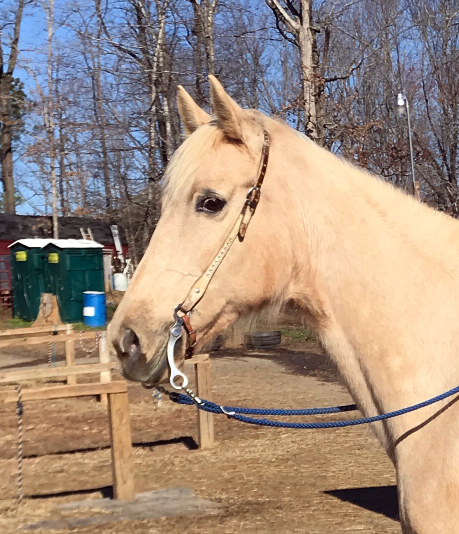 Kentucky Mountain Saddle Horse for Sale in Raleigh, NC